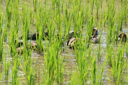 В рисовом поле...