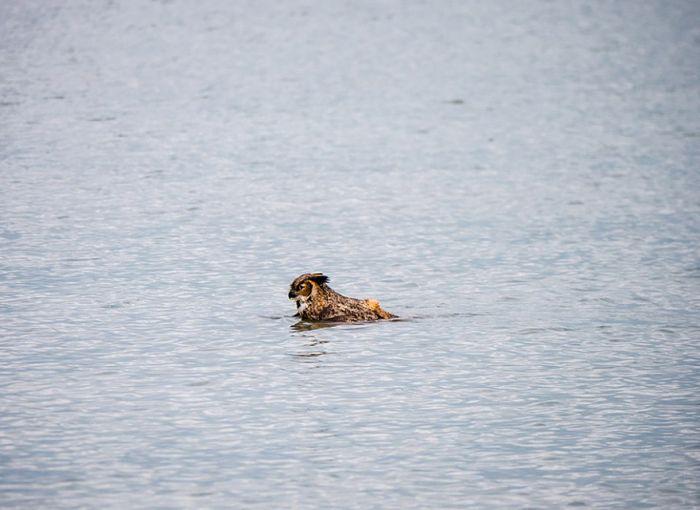 плавающий филин