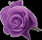 сиреневая роза.png