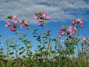 Хатьма тюрингийская (Lavatera thuringiaca)Тэг на ЯФ:  Флора Тульской области