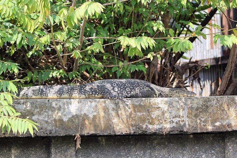 Варан греется на бетонном ограждении канала Khlong Chak Phra под листьями кустов - Полосатый варан (лат. Varanus salvator) в Таиланде