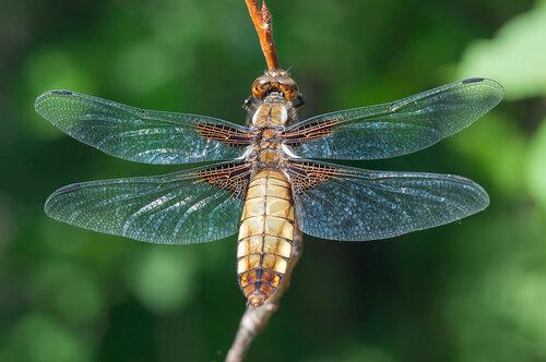 Семейство Libellulidae Автор фото: Владимир Брюхов