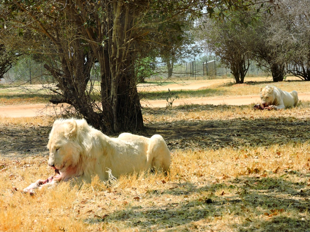 lions13.jpg