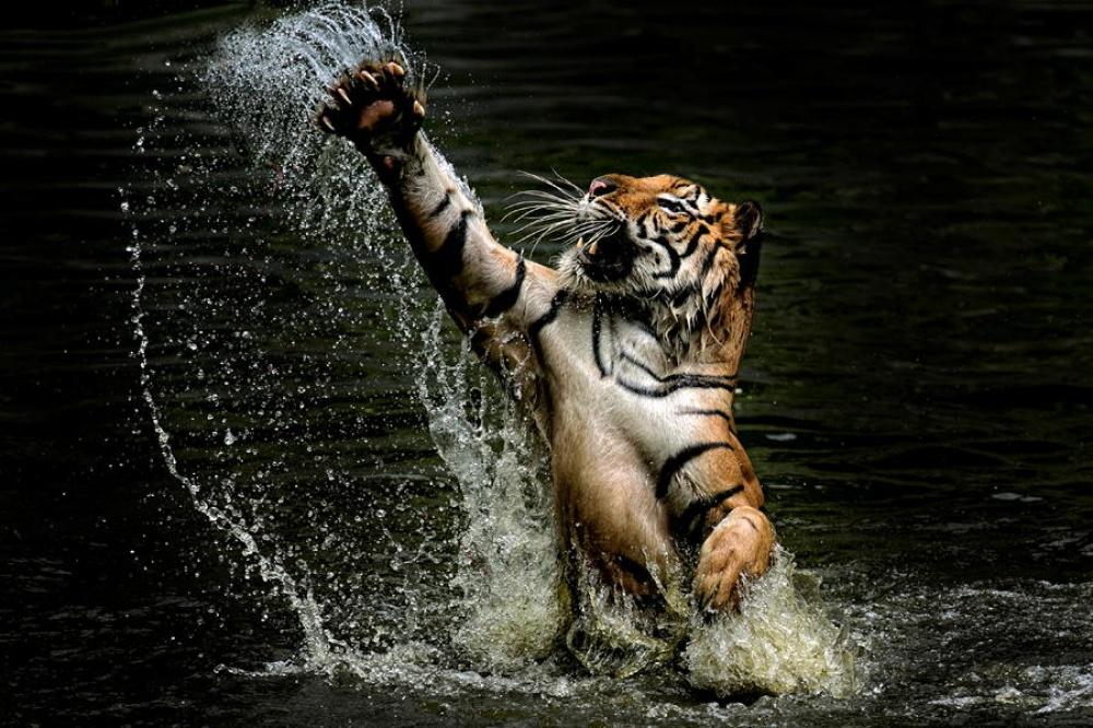 ©Yudi Lim Тигриные когти.