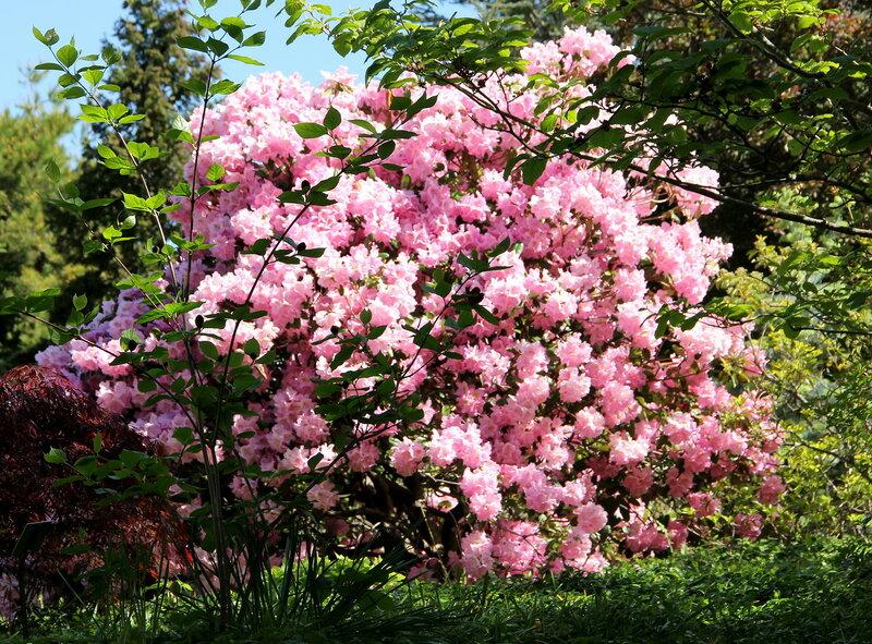 Розовая сказка.