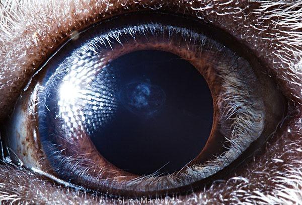 Сурен Манвесян. Фотографии глаз животных крупным 0 122fc1 300c6f6a orig