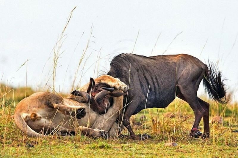 Драматические фотографии охоты льва на антилопу гну в Африке