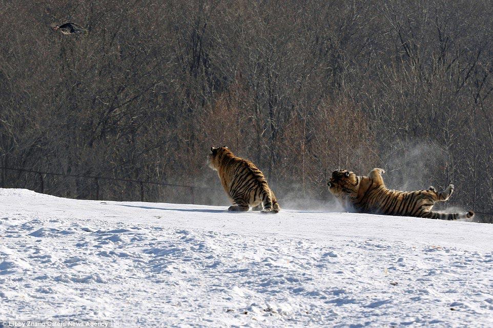 Эпичное падение тигра в результате неудачной попытки поймать птицу (7 фото)