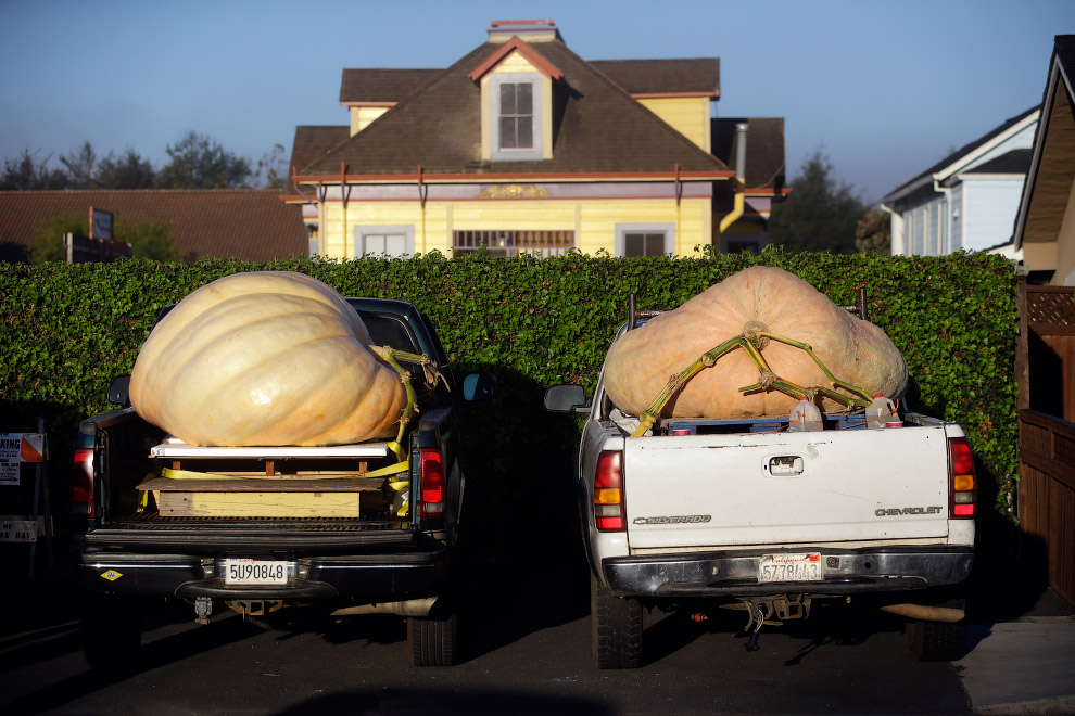 6. На весы тыквы помещают с помощью погрузчика, все же весят они несколько сотен килограмм. (Фото St