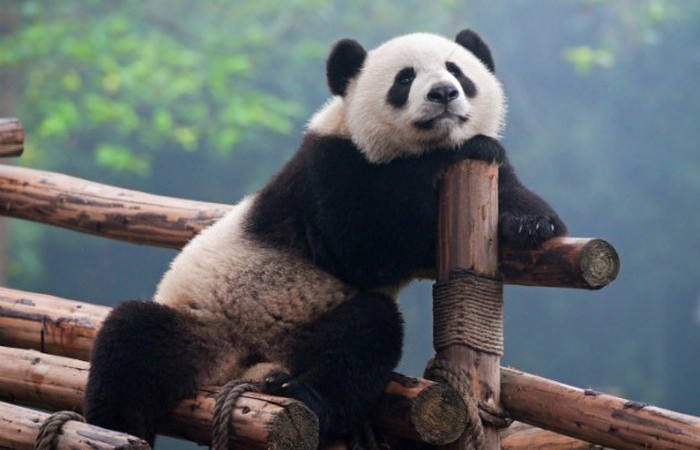 Профессиональная панда