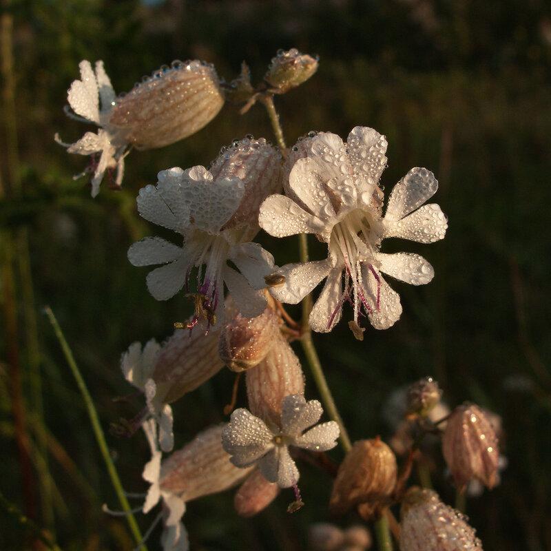 Белые росы