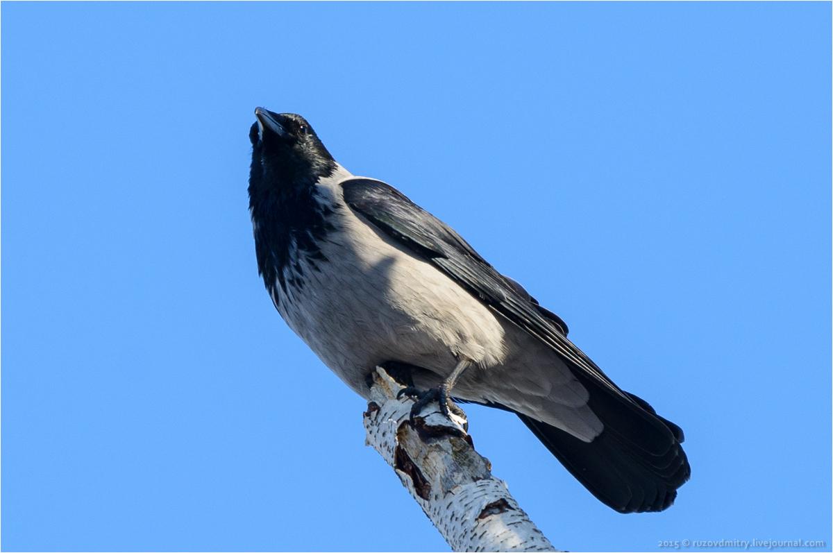 Серая ворона