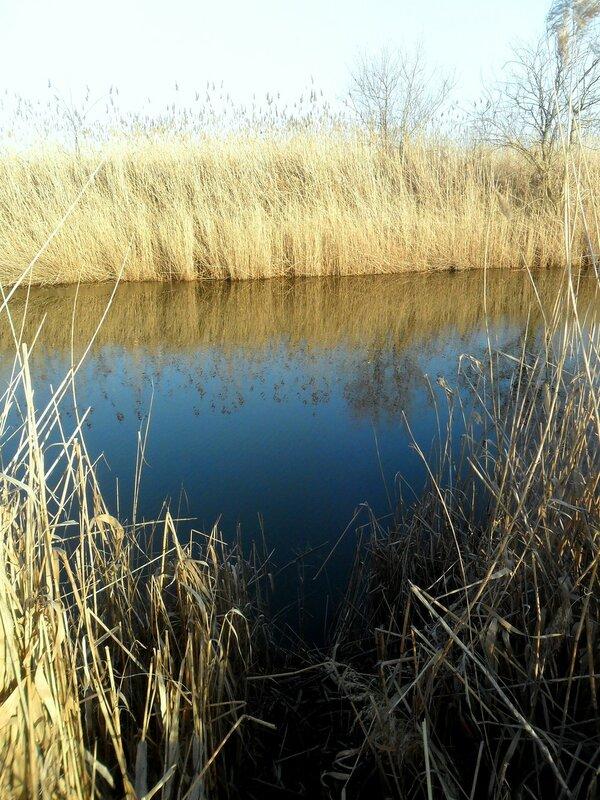 Зеркало воды в зимних камышах ... SAM_5525.JPG
