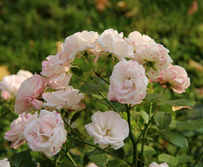 Аромат цветущих роз