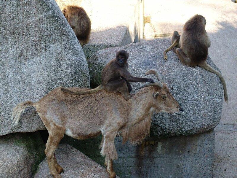 картинки баран и обезьяна динамики