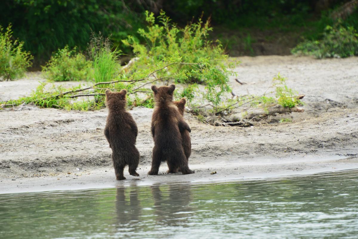 камчатские медведи.