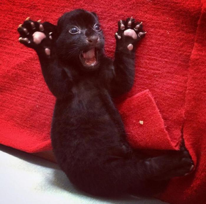 Черный тигренок в китайском зоопарке (фото)