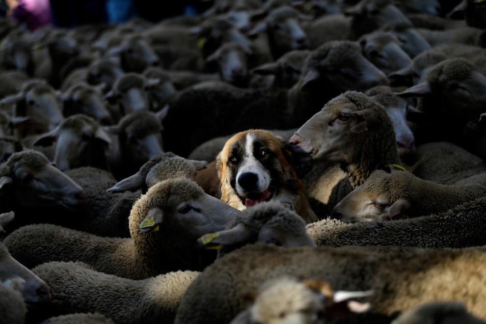 5. Вместе с пастухами и овцами по улицам прошли танцоры и музыканты, одетые в традиционные испанские