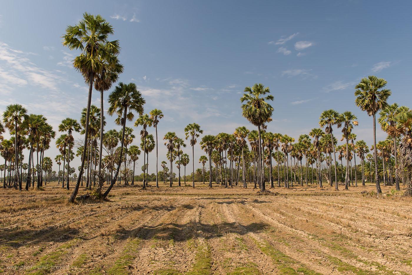 Фото 1. Пальмовые рощи в окрестностях деревни Na Yang, где расположена статуя Великого Ушастика. Поездка на машине по достопримечательностям в окрестностях города Хуахин в Таиланде. ISO 160, ФР=27, F/9.0, В=1/200