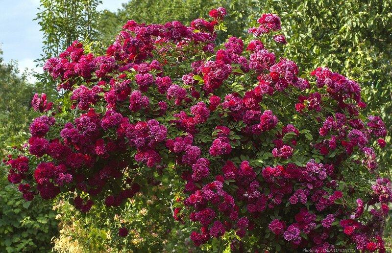 Роза вьющаяся розовая (2)