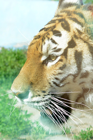 тигрица2