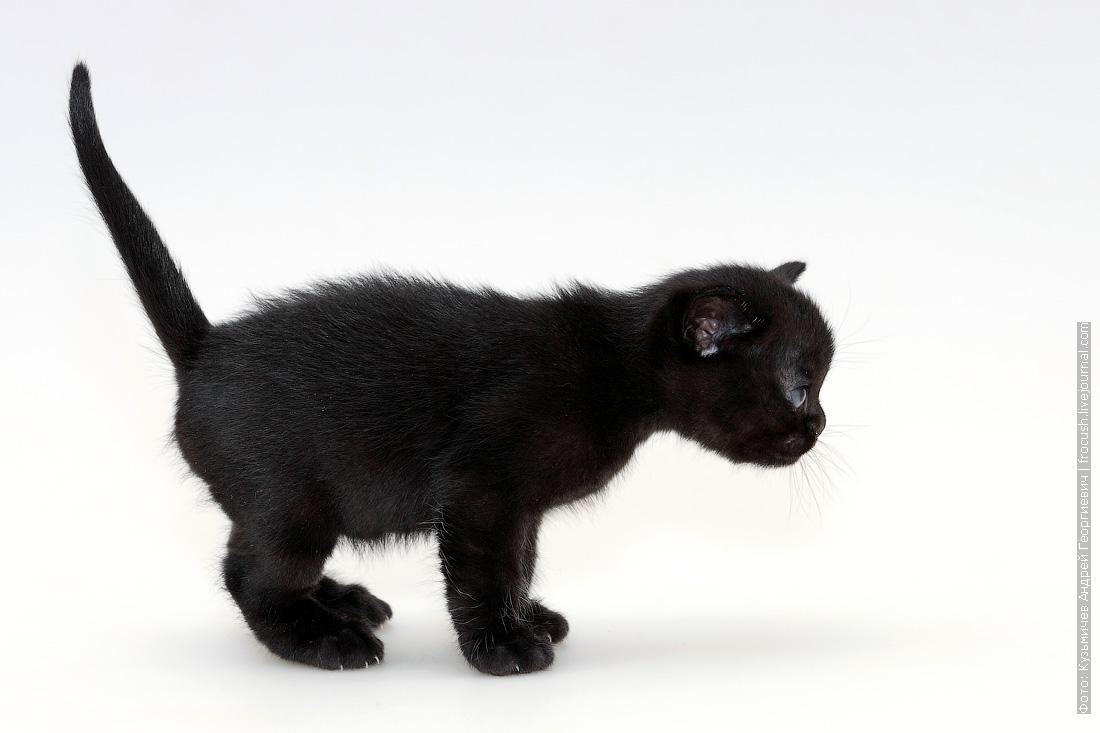 котенок Бомбейской кошки фото