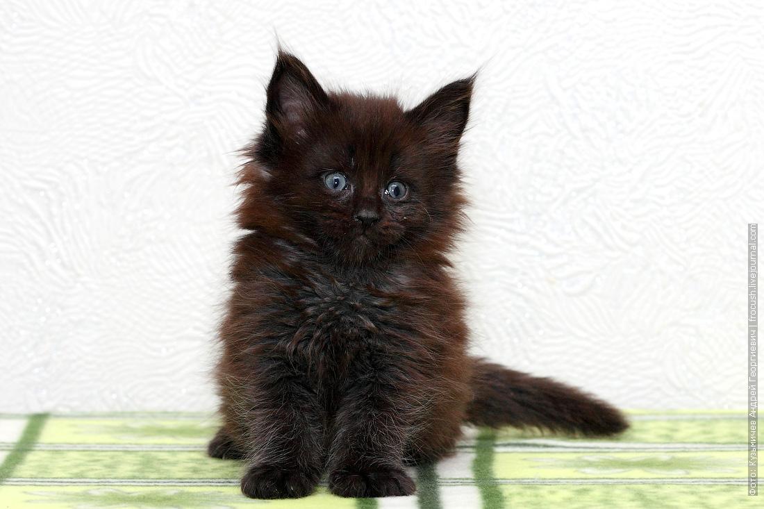 купить котенок Мейн-кун в Москве питомник