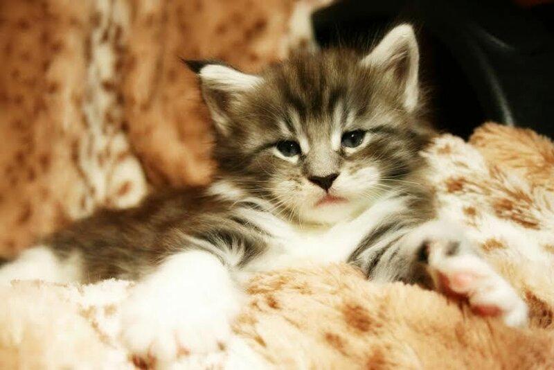 котенок мейн-куна из питомника King Size