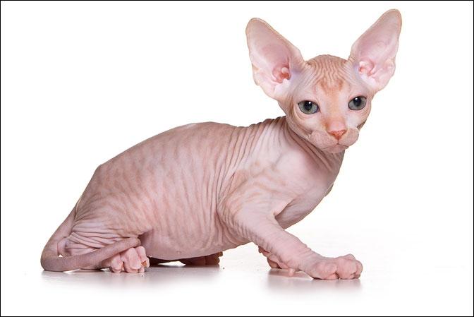 купить котенка сфинкса в питомнике