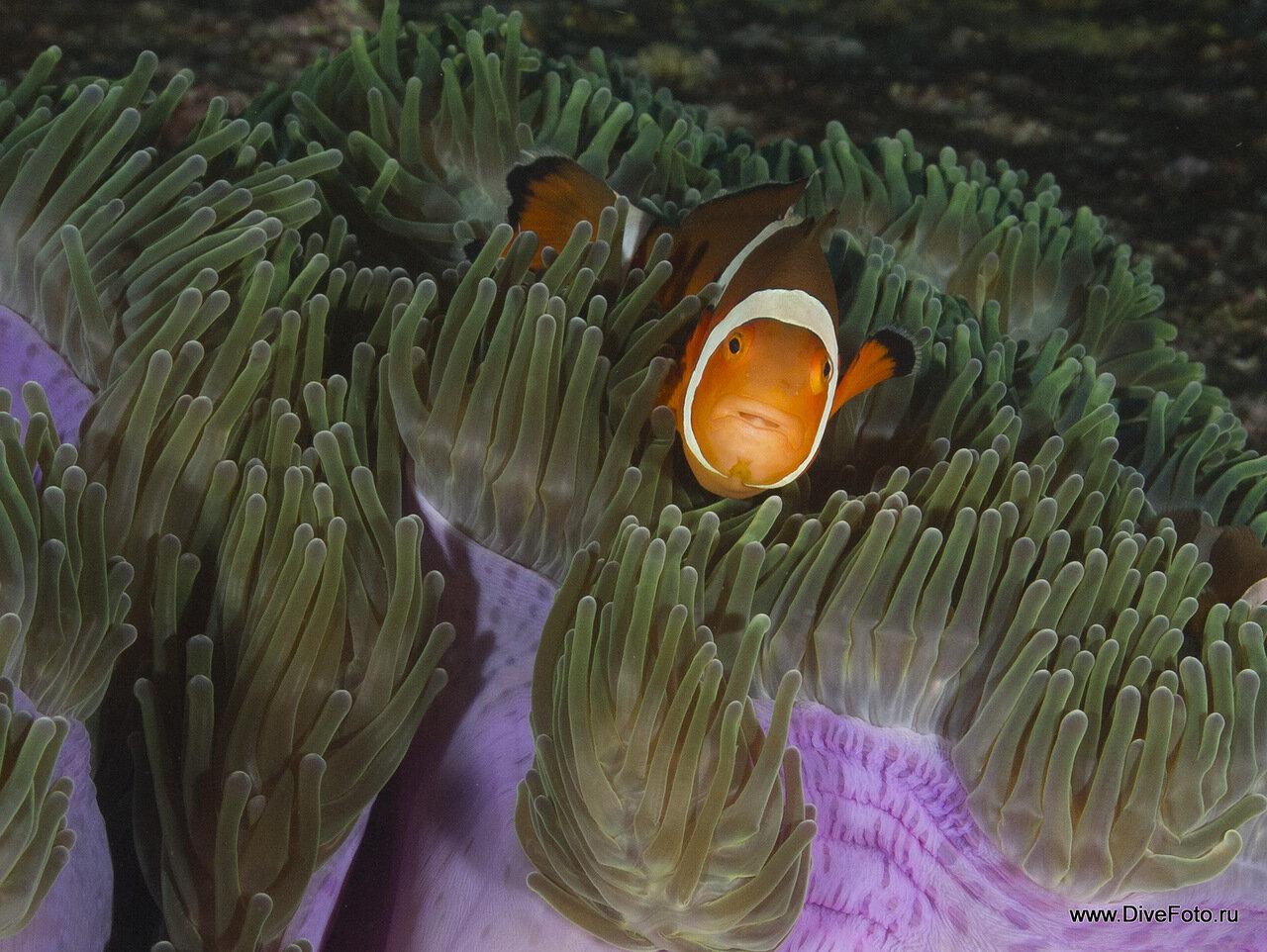 Оранжевая рыба клоун Amphiprion percula  в фиолетовом анемоне фото