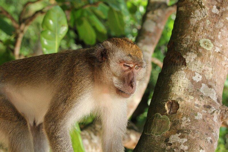 Длиннохвостый макак (яванский, макак-крабоед, Macaca fascicularis) с подбитым глазом