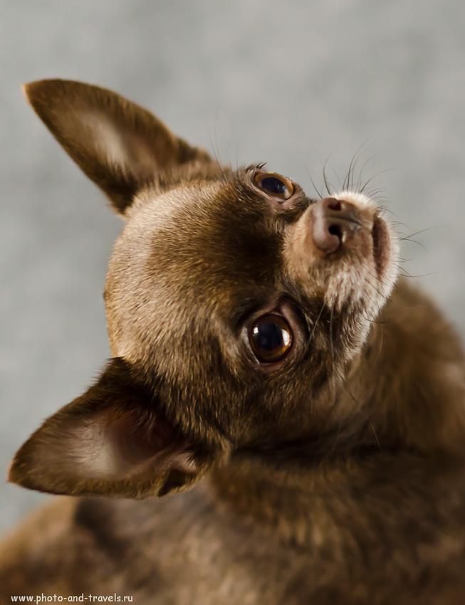 Фото 12. Портрет собаки (настройки при съемке: f 2.0; В=1/160; ISO-1600). Учимся фотографировать на зеркальный фотоаппарат Nikon D5100 с портретным объективом Nikon 50/1.4 G