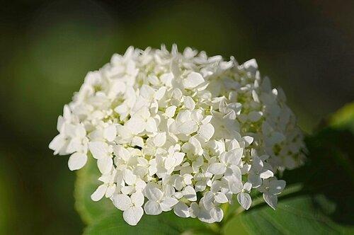 Белой гортензии гроздь