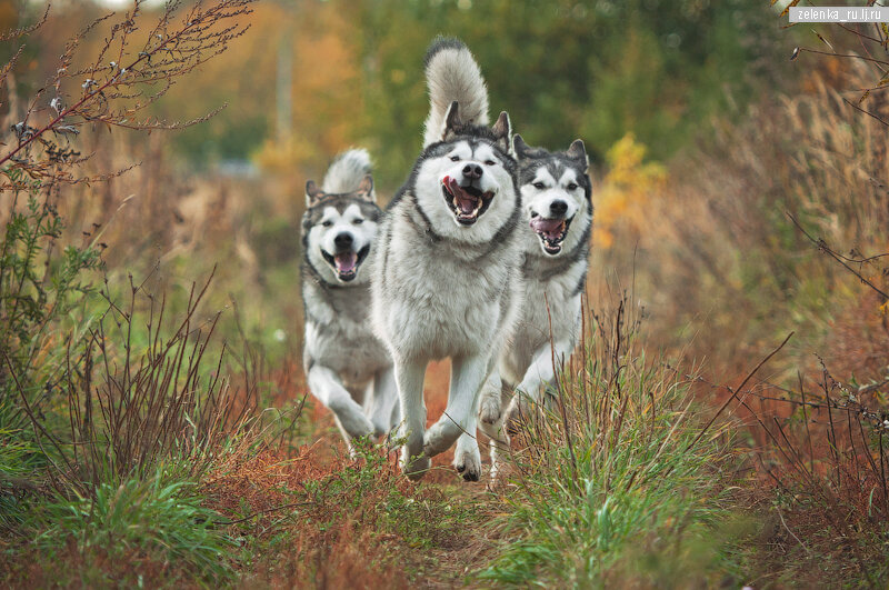 пофотографирую Ваших собак! - Страница 5 0_166432_13165905_XL