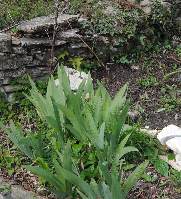 весенние ростки ириса