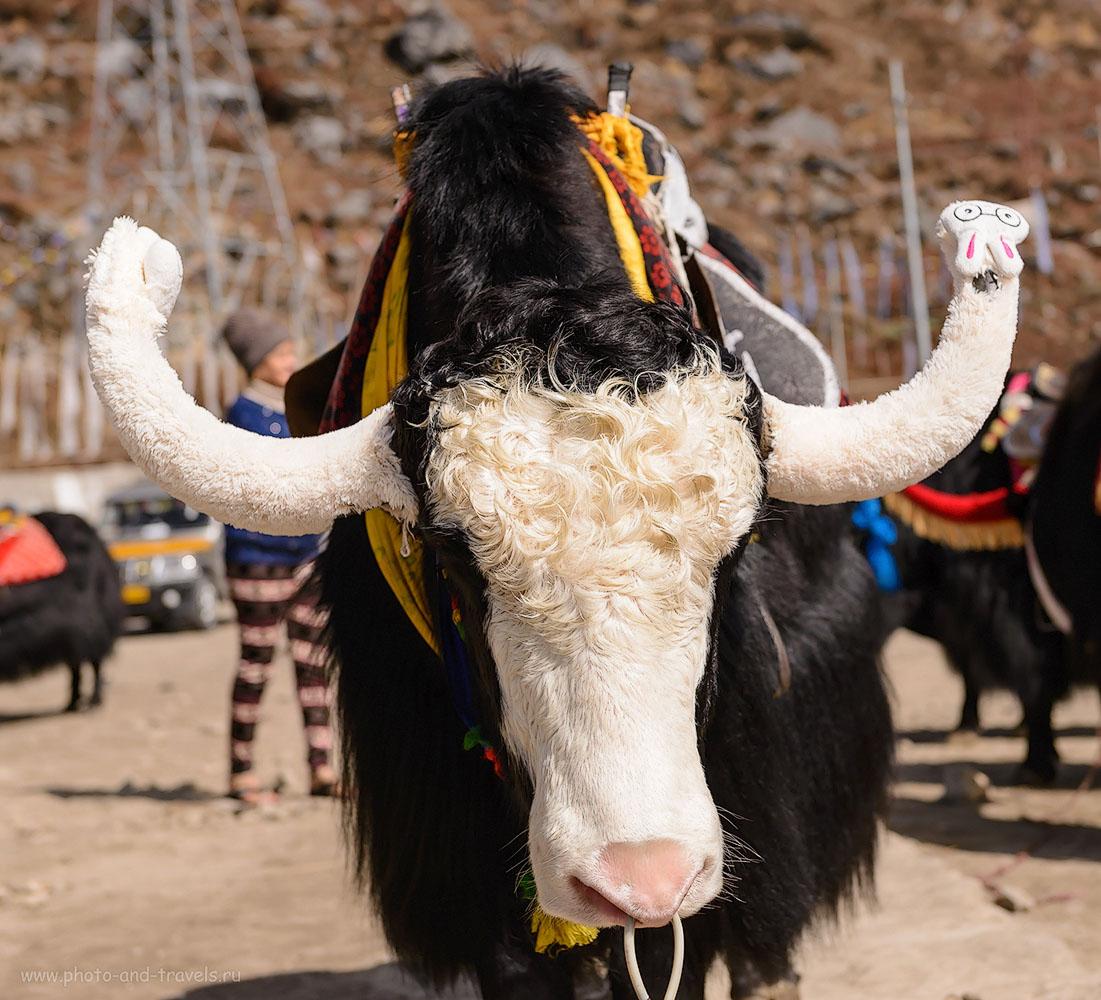 Фото 4. Домашний як. Как и тысячи несчастных животных по всему миру служит потехой для туристов, живет в проголодь и совсем нелюбим хозяином, который видит в животном лишь источник наживы. 1/4000, -1.33, 4.5, 200, 56.
