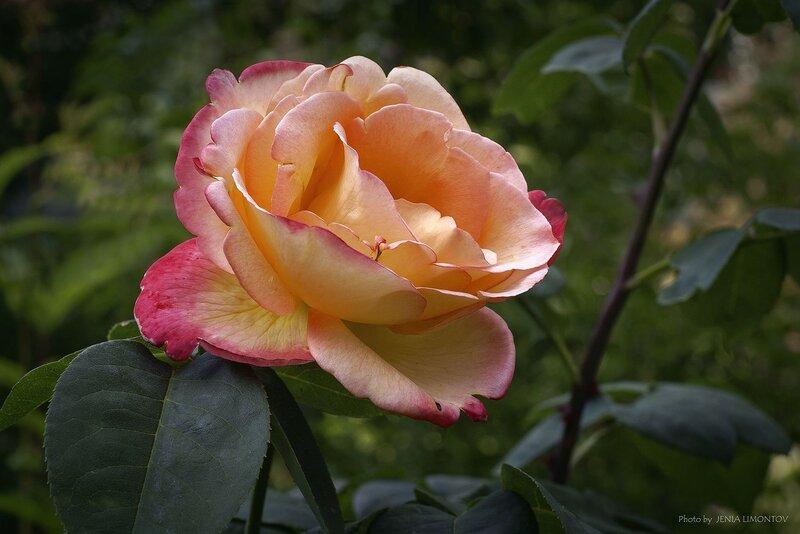 Роза - королева цветов (2)