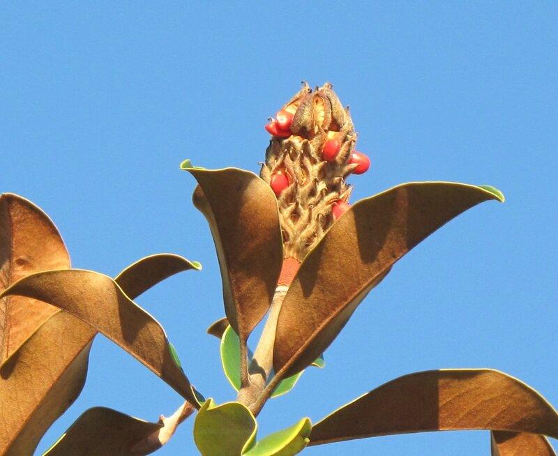 плод магнолии с семенами