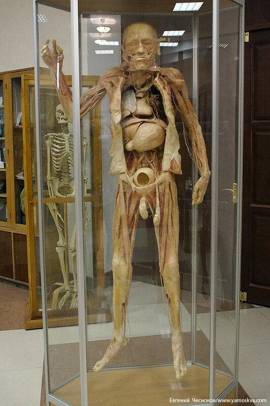 Лето. МГМУ. Музей анатомии. 27.08.15.02..jpg