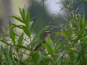 Луговой чекан (Saxicola rubetra)На всякий случай прячется в траву. Чем осторожнее будешь, тем дольше проживешь.