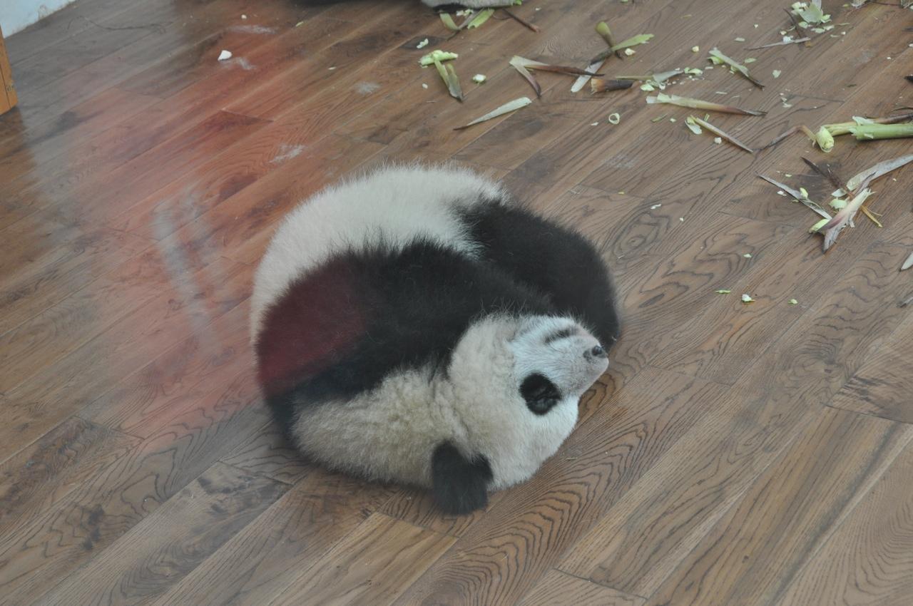 Детеныш гигантской панды