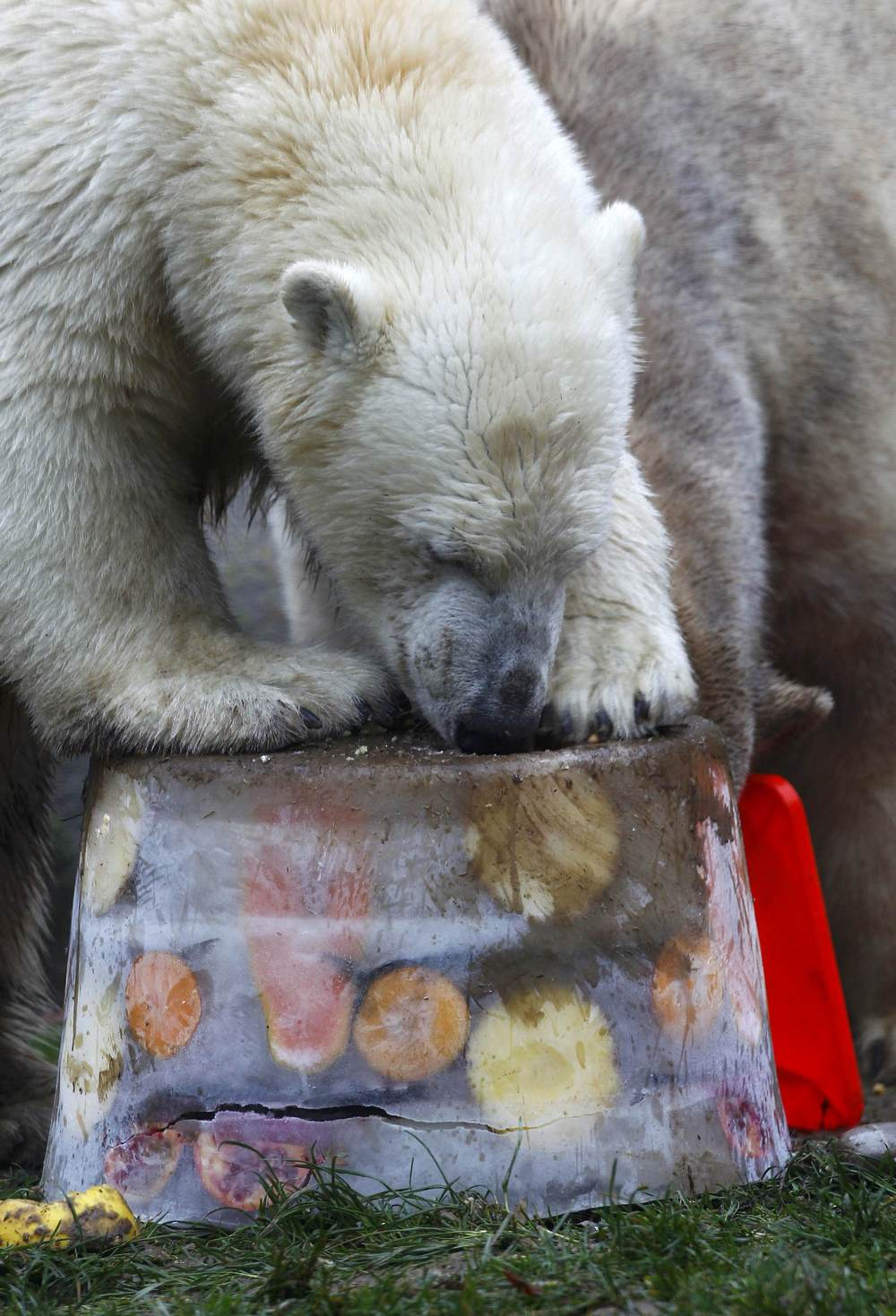 A polar bear eats an ice cake with fresh fruit and cream to celebrate its first birthday in an enclosure at Tierpark Hellabrunn zoo in Munich