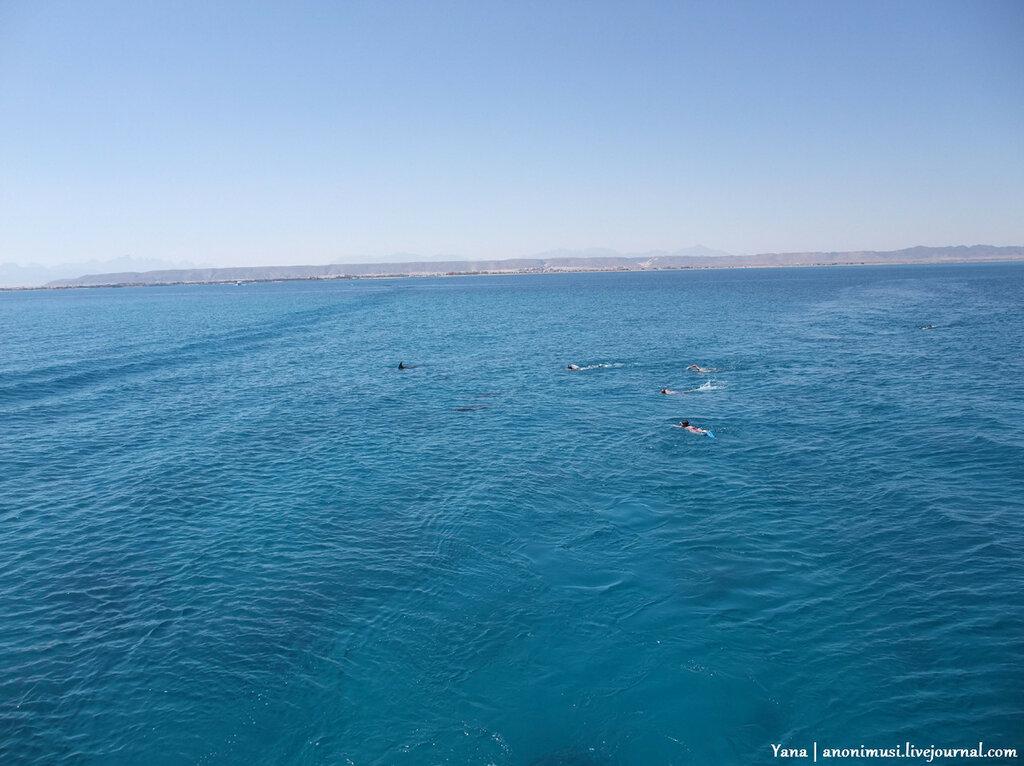 Дельфины Красного моря