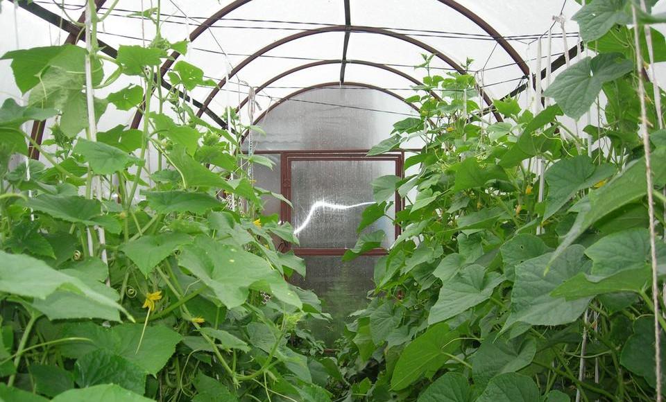 болезни овощных культур закрытого грунта