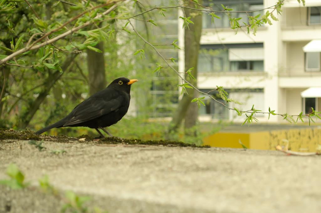 9. Черный дрозд. Фотоохота с любительской зеркалкой Nikon D5100 и штатным объективом Nikon 18-55mm f/3.5-5.6