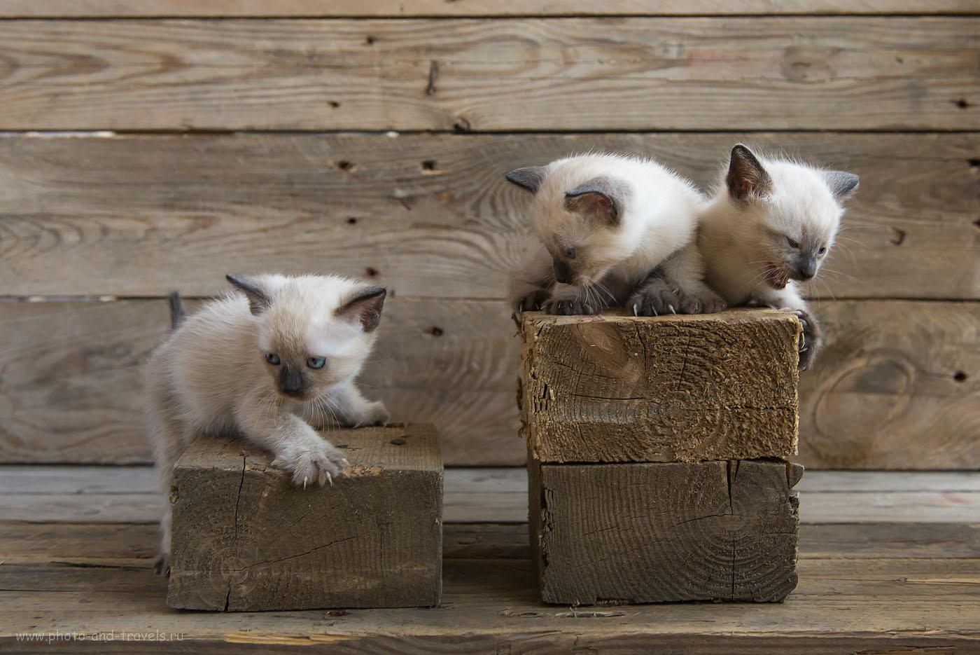 Фото 13. Курсы фотографов. Фотостудия для съемки котят при естественном свете от окна (1000, 38, f5.6, 1/125)