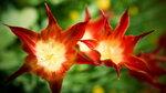 Фанфан - тюльпан _083.jpg