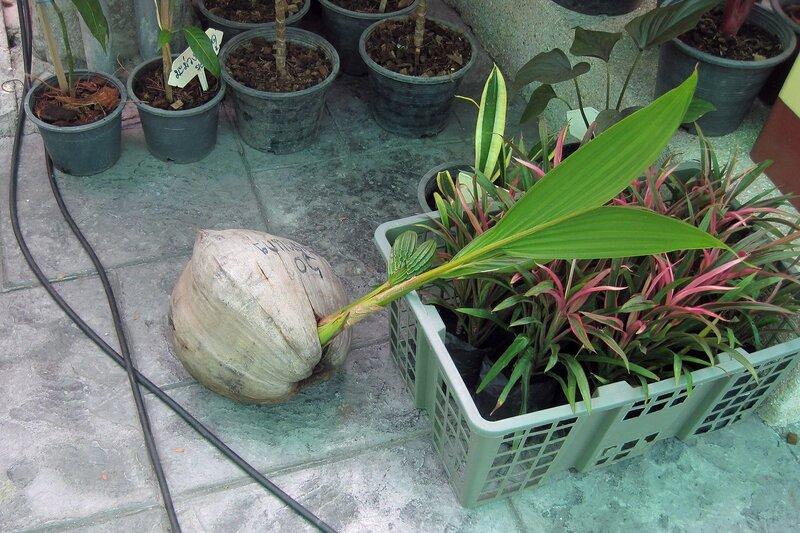 Проросший кокос на рынке Талинг Чан, Бангкок