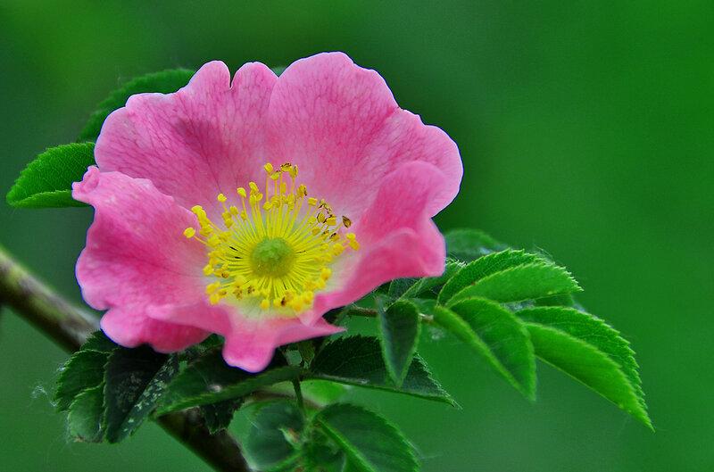 В саду зацветает шиповник