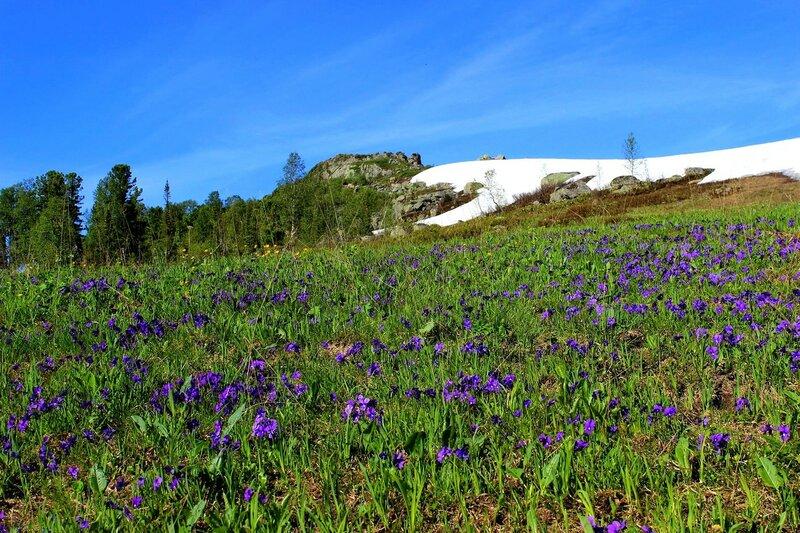 IMG_7635.JPG Поле альпийских фиалок